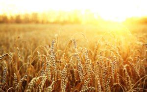 Цифра дня: сколько Узбекистан отправил пшеницы в Афганистан