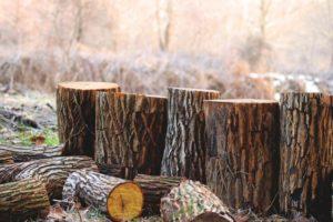В сентябре вступит запрет на вырубку деревьев