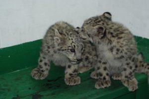 В Гиссарском заповеднике нашли двух котят снежного барса