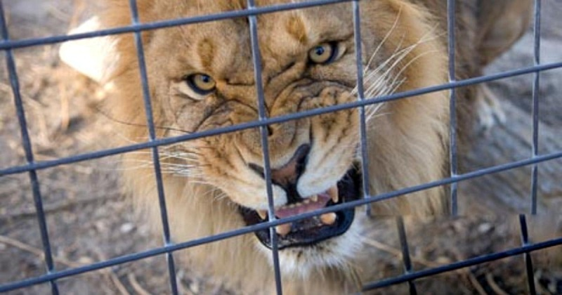 В Андижане лев растерзал мужчину