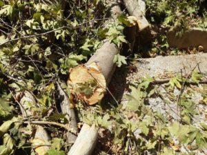 Экопартия призывает ускорить введение моратория на вырубку деревьев. Прямо сейчас в Ташкенте рубят деревья в 4 местах
