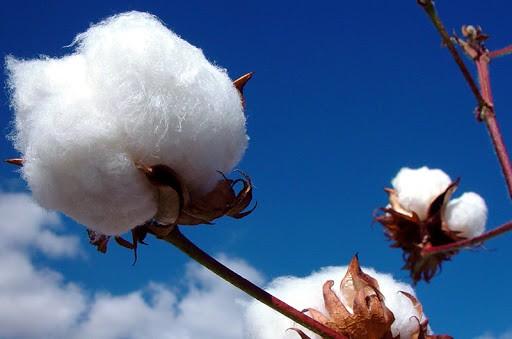 Cotton Campaign: ўзбек пахтасини бойкот қилишни бевор қилишга ҳали эрта
