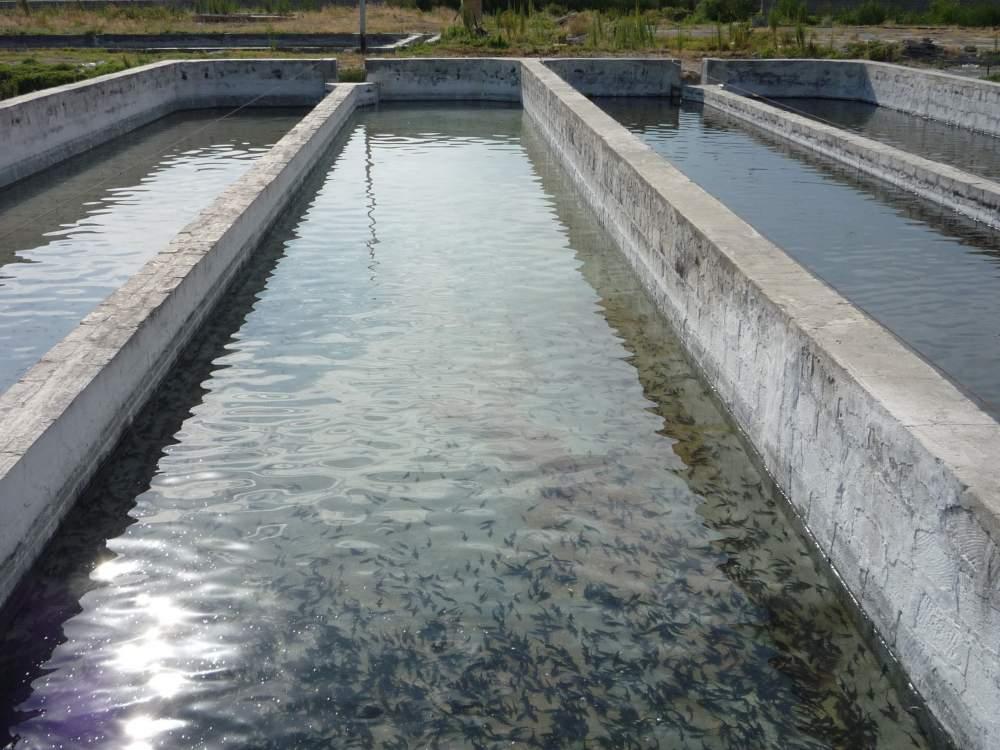 За 6 месяцев в Ферганской области организовано 34 рыбоводческих хозяйства