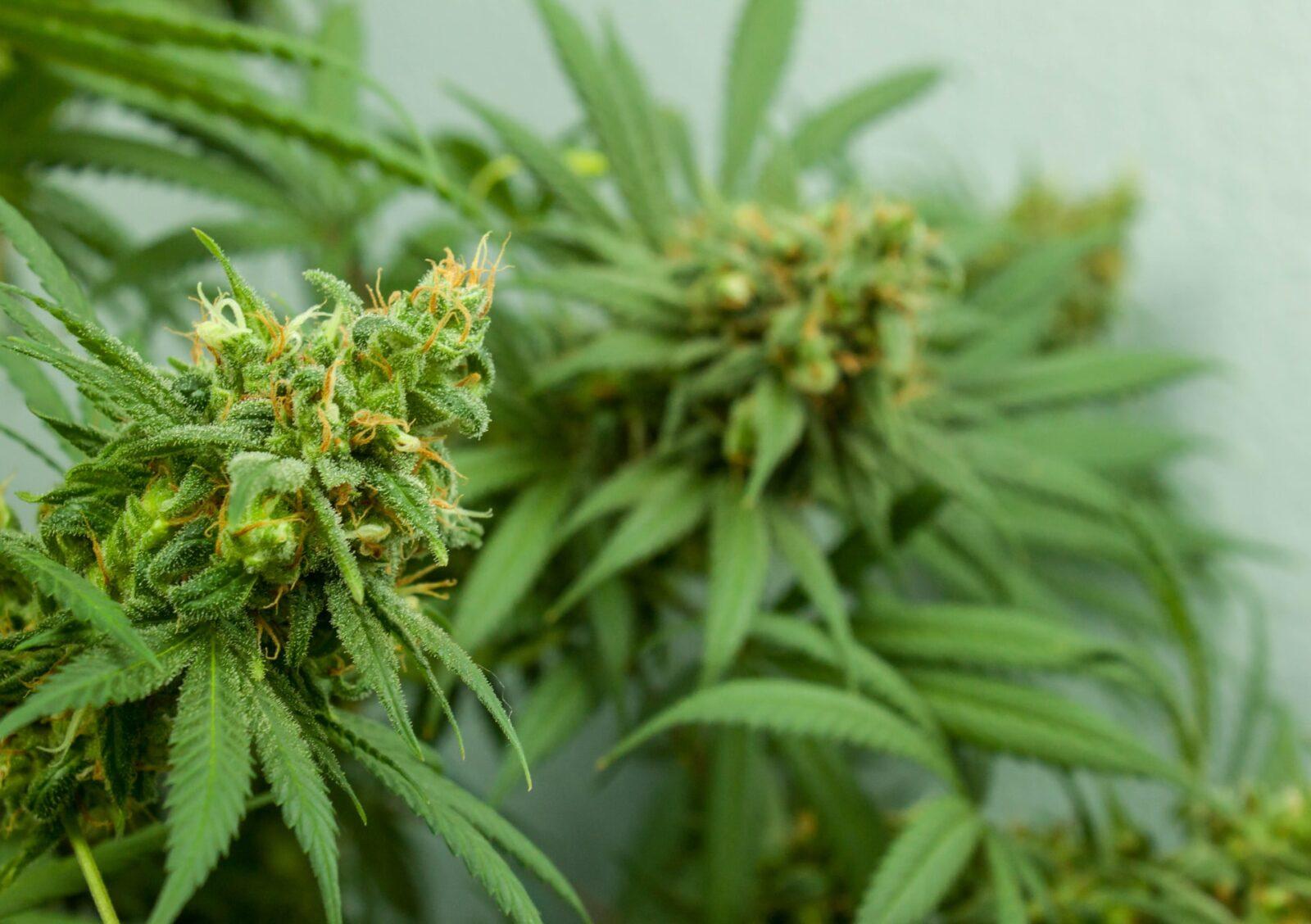 Мальтийской компании разрешили выращивать каннабис в медицинских целях в Сырдарьинской области