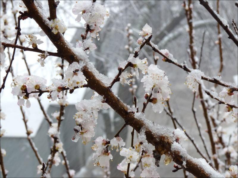 Узбекистан может потерять до 35% урожая фруктов из-за заморозков