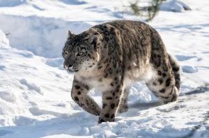 В Узбекистане увеличилось число снежных барсов