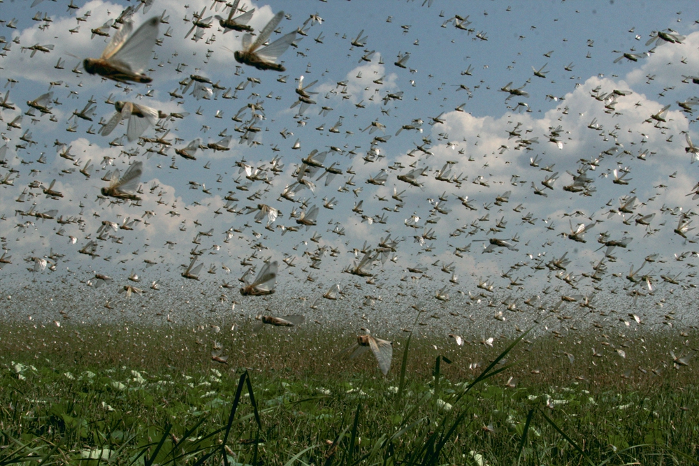 Узбекистан и Кыргызстан совместно защищают растения от саранчи