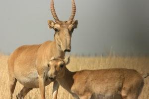 В Узбекистане создадут ландшафтный заказник для охраны сайгака
