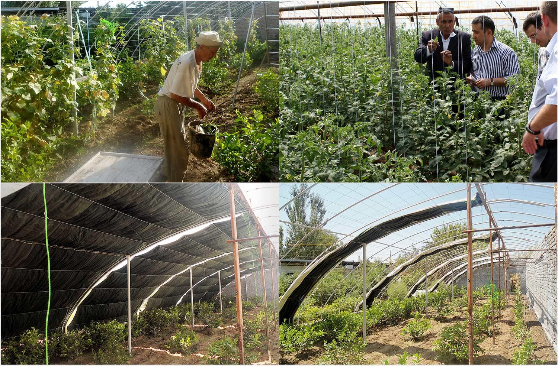 Инновации в агрикультуре: Энергоэффективные теплицы в Узбекистане