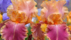 Самарканд в названиях цветов в США