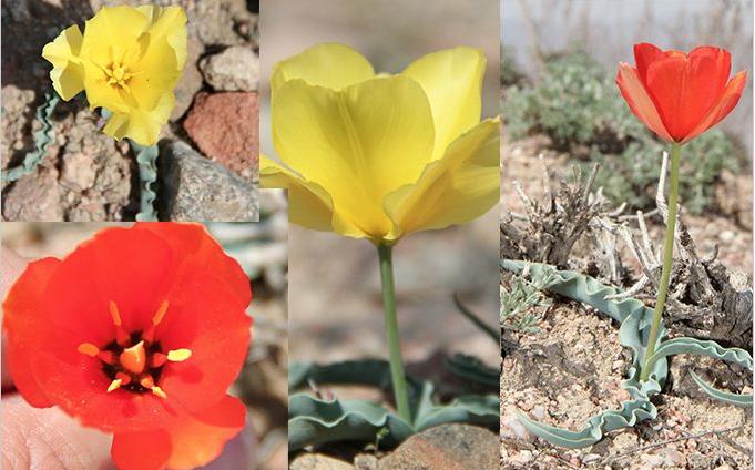 В Ферганской долине обнаружен новый вид тюльпана