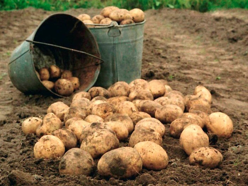 Картошка как повод для экономической дискуссии